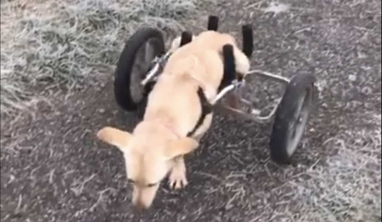 This disabled pup wins the Internet today